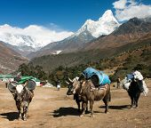 yaks with goods on the way to Everest base camp