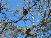 Koalas In A Tree