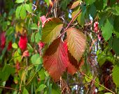Virginia Creeper Climbing Plant