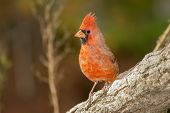 Male Northern Cardinal On A Log