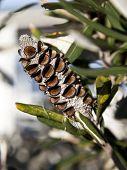 Banksia vaina