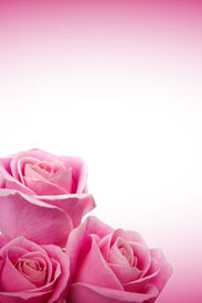 stock photo of pink rose  - Beautiful pink roses on white and pink background - JPG