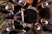 Balck Tarantula