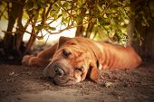 Out of the sun, a Shar pei tries to rest in the shade of a hedge. Retro style processing.