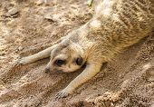 stock photo of mear  - Mears Cat is lying on the sand - JPG