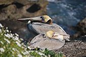 California Brown Pelicans at rest in La Jolla CA