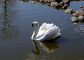 Swan In Pond