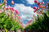 Pink Growing Tulips On Field