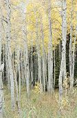 Aspen Trees, Color
