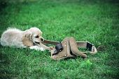 stock photo of friendship belt  - american cocker spaniel puppy playing with workers tool belt  - JPG