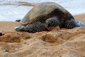 pic of sea-turtles  - This green sea turtle is resting on the beach of North Shore on the island of Oahu in Hawaii USA - JPG