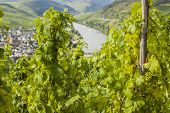 Mosel Vineyard In Germany