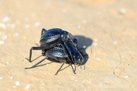 foto of coitus  - Copulation of black bugs in the desert in the spring - JPG