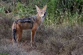pic of jackal  - Portrait of a Black Backed Jackal with large ears - JPG