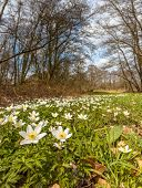 Wood Anemone In A Grass Field In Early Spring