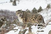 Rare and Elusive Snow Leopard in winter snow scene