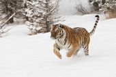 foto of tigress  - Rare and endangered adult male Siberian Tiger running in snow - JPG