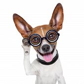foto of dog ears  - silly dog listening careful with one very big ear - JPG