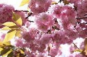 Pink Japanese Cherry Twig Blossom
