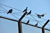 Located Between The Barbed Wire Pigeon