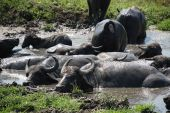 Water Buffalo Wallowing In Mud