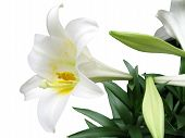 foto of easter lily  - this is an easter lily isolated on a white background.