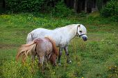 Two Ponies Grazing