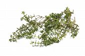 Small Twigs Of Fresh Thyme On White