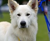 stock photo of swiss shepherd dog  - Swiss Shepherd dog at a dog show in the spring - JPG