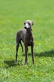 stock photo of greyhounds  - Greyhound at a dog show in the spring - JPG