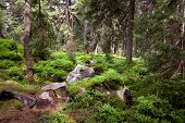 Old forest in the mountain -   stones, moss and pine trees. Carpathian, Ukraine