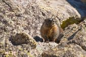 foto of marmot  - Colorado Marmot - JPG