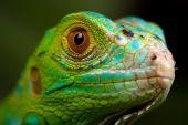 Grüner Leguan closeup