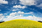 Yellow rapes flowers and blue sky with fluffy clouds. Ukraine, Europe. Beauty world.