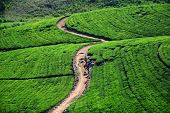 beautiful tea plantation