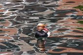 stock photo of crested duck  - a male Red - JPG