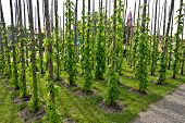 Traditional Hop Garden