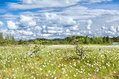 Swampland Wth White Blooming Cotton Grass And Blue Sky, Karelia