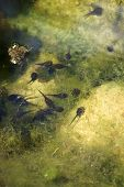 pic of tadpole  - The Photography of tadpoles in a garden pond - JPG