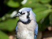 picture of blue jay  - Close - JPG