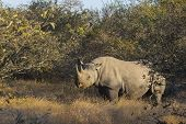 Black rhino in the wild 4