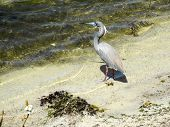 The Heron Waits For A Fish To Swim Past
