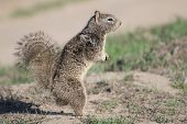 Ground Squirrel Checking Things Out
