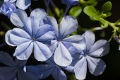 Blue Plumbago Flowers Under The Sun