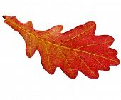 Single Red Autumn Oak Leaf with water drops isolated on white background