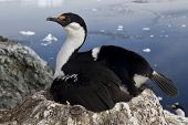 Antarctic Blue-eyed Cormorant Which Incubates The Clutch On The Antarctic Island