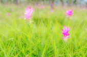 stock photo of curcuma  - Curcuma alismatifolia( Siam Tulip)There are many endemic plants in the rainy season in the north east of Thailand