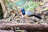 Coral-billed  Ground-cuckoo
