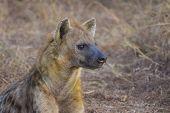 Alert hyena adult 2