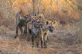 Alert hyena adult 4